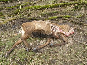 Oostvaardersplassen - Carcass of deer that had been shot because it was too weak to survive the winter
