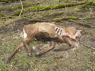 Oostvaardersplassen - Carcass of deer that had been shot because it was too weak to survive the winter