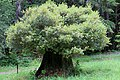 Oak-tree-growing-from-redwood-stump.jpg