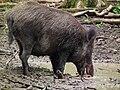 Oberkiefer Wildschwein Juni 2012 Wildpark Alte Fasanerie.JPG