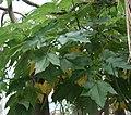 Obetia ficifolia 02 SSZ.jpg