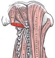 Obliquus capitis inferior.png