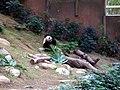 Ocean Park panda 1.jpg