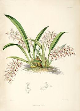 Odontoglossum blandum
