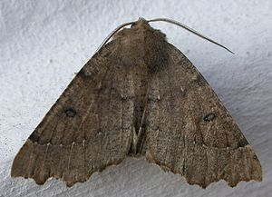 Industrial melanism - Odontopera bidentata, the scalloped hazel moth, in typical and melanic forms