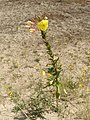 Oenothera erythrosepala - Große Nachtkerze - Grote teunisbloem - l'Onagre à sépales striés de rouge - Evening Primrose - ganze Blume.JPG