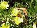 Oenothera missouriensis4.jpg