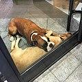 Oh les jolis chiens (28407724556).jpg