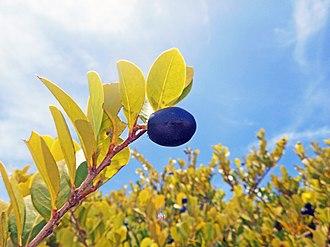 Chrysobalanus icaco - Image: Oleta River State Park Chrysobalanus icaco Cocoplum fruit 03