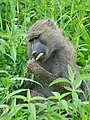 Olive baboon Tarangire National Park - 2015-01-12.jpg