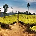 Ooty tea garden.jpg