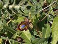 Ophrys speculum Sardinia LM.jpg