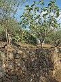Opuntia Ficus Olea 20091019.jpg