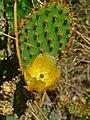 Opuntia engelmannii 002.jpg