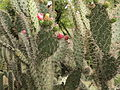 Opuntia soederstromiana-IMG 8845.JPG