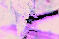 Orange Blossum Orchid (Sarcochilus falcatus).tif