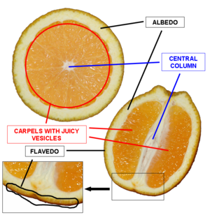 Fruit anatomy - A schematic picture of an orange hesperidium