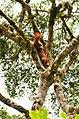 Orangutan (32662853754).jpg