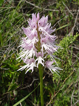 Orchis italica a.JPG