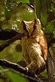 Oriental Bay Owl DSC 2501.jpg