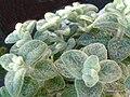 Origanum dictamnus 2.JPG