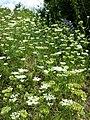 Orlaya grandiflora sl7.jpg