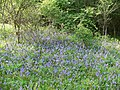 Orley Common - bluebells - geograph.org.uk - 796794.jpg