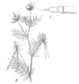 Ornithopus sativus Taub122b.png