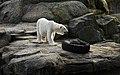 Orso at Berlin zoo-7 (2521090185).jpg