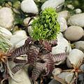 Orthophytum sp.-IMG 5599.jpg
