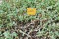 Oscularia deltoides-Jardin botanique Meise.jpg
