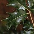 Osmanthus heterophyllus (leaf s3).jpg