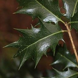 Osmanthus heterophyllus (leaf s3)