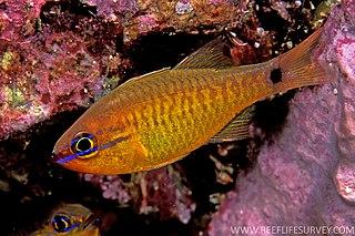 <i>Ostorhinchus capricornis</i> species of fish