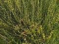 Osyris alba 2 RF.jpg