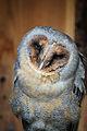 Owls @ Dragonheart, Enschede (9549675002).jpg