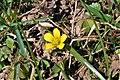 Oxalis corniculata ENBLA01.jpg