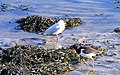 Oystercatcher and Black-headed Gull on the Estuary - geograph.org.uk - 1138854.jpg