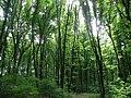 P5252448 Під покривом літнього лісу.JPG