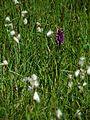 PR Vresova stran 021 Dactylorhiza majalis Eriophorum angustifolium.jpg