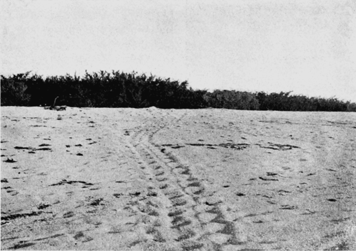 PSM V64 D045 Track of loggerhead turtle in the sand of tortugas.png