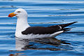 Pacific Gull (Larus pacificus) (8079593194).jpg