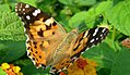 Painted Lady butterfly (Vanessa cardui) (16772855696).jpg