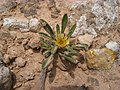 Pallenis hierochuntica in Sebkhat Sidi El Hani Tunesien 2009.jpg