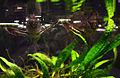 Pantodon buchholzi Köln Zoo 31122014 2.jpg