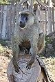 Papio in Kenya 01.jpg