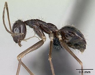 <i>Paratrechina</i> Genus of ants