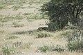 Parc national d'Etosha - la Savane.jpg