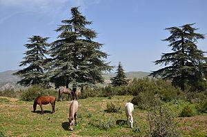Cedrus atlantica - Atlas cedars in Algeria.