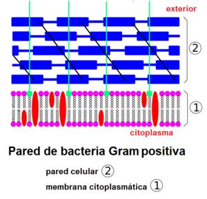 Envoltura Celular Bacteriana Wikipedia La Enciclopedia Libre